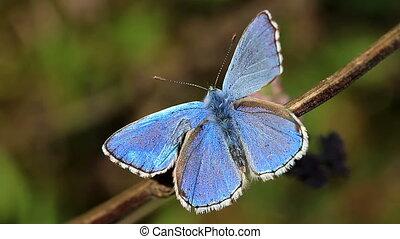 papillon, bleu, closeup, commun