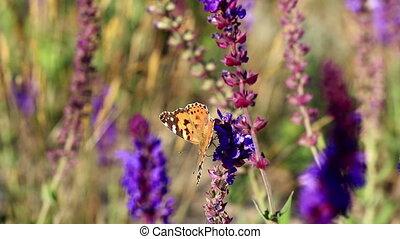 papillon, bleu, salvia, jardin