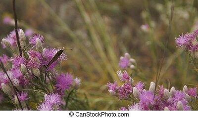 papillon, brun, fleur, flower., mouvement, lent, flottements