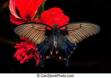 papillon, brun, fleur, rouge noir