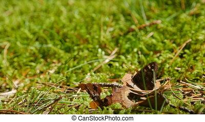papillon, brun, leaf., pré, reposer