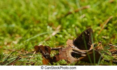 papillon, brun, pré, reposer, leaf., flétri