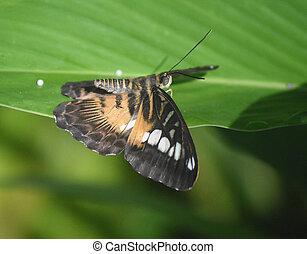 papillon, brun, prolongé, ailes, tondeuse