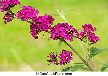 papillon, busch, 01