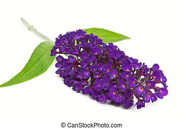 papillon, busch, (buddleja)