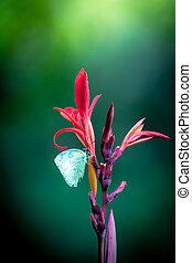 papillon, canna, fleur, rouges