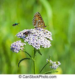 papillon, checkered, rötlich, ), (, melitaea, aurelia