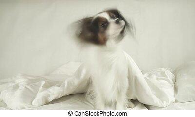 papillon, chien, lit, sous, dehors, couvertures, rampe, stockage