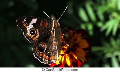 papillon, closeup.
