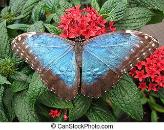 papillon, commun, morpho
