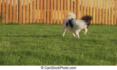 Papillon Continental Toy Spaniel puppy playing with plush mouse on a green lawn stock footage video