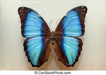 papillon, cyan