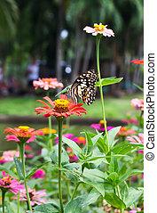 papillon, déchiré, zinnia, isoler, ailes