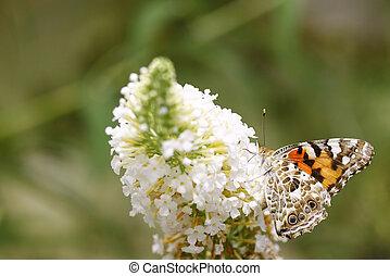 papillon, davidii)., gemalte dame, unterseite, ), busch, ...