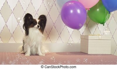 Papillon dog celebrates birthday with gifts balloons and soap bubbles stock footage video