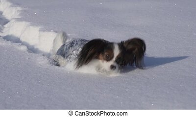 Papillon dog courageously makes his way through the snow in...