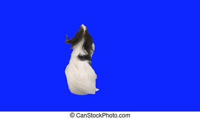 Papillon dog dancing on its hind legs on a blue hromakey...