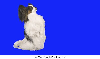 Papillon dog doing stand on his hind legs on blue hromakey...
