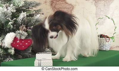 Papillon dog gets a treat in a gift box near New Year tree stock footage video