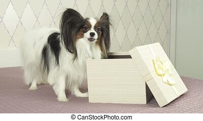 Papillon dog gets treat from the gift box stock footage...