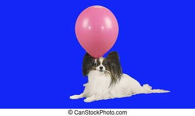 Papillon dog holds pink inflatable ball in his teeth on blue...