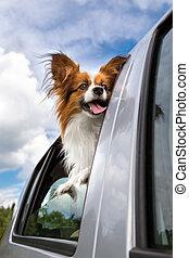 Papillon dog in car