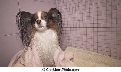 Papillon dog in towel after bathing in the bathroom stock...