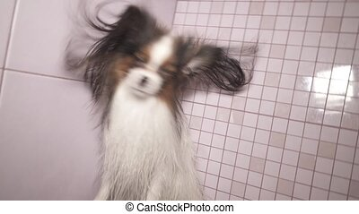 Papillon dog is blow dry after bathing in bathroom stock footage video