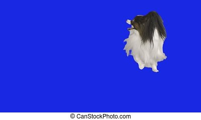 Papillon dog is spinning dancing on a blue hromakey slow...