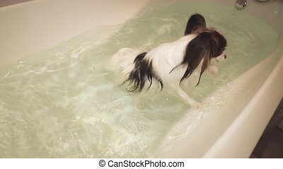 Papillon dog is swimming in bathroom stock footage video -...