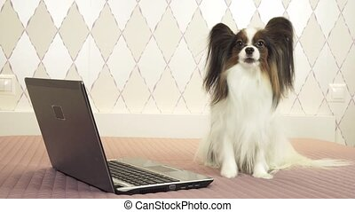 Papillon dog sits near laptop on the bed stock footage video...