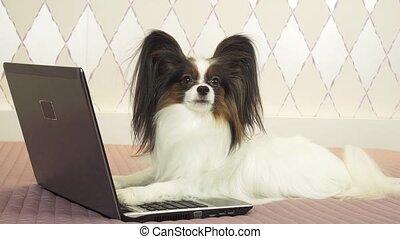 Papillon dog studies information in laptop stock footage...