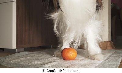 Papillon dog trying to peel tangerine peel footage video -...