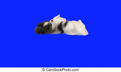 Papillon dog tumbles on floor on blue hromakey slow motion...