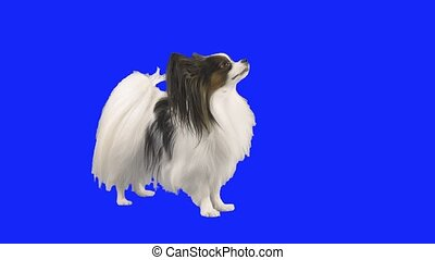 Papillon dog tumbles on floor on blue hromakey stock footage...