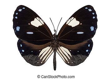 papillon, euploea, nom, corneille, pie, radamanthus, commun, espèce