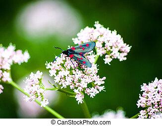papillon, fleur blanche, rouge noir