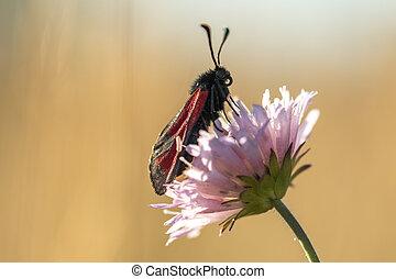 papillon, fleur, rouge noir