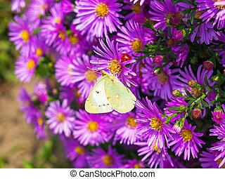 papillon, fleurs, 4