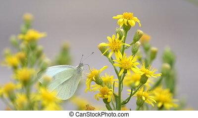 papillon, fleurs, jaune