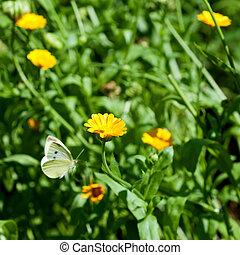 papillon, fleurs, voler