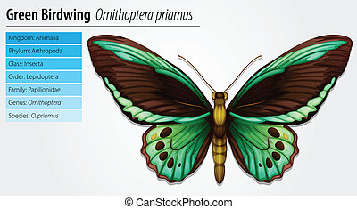 papillon, grün, birdwing