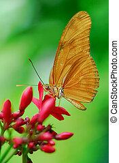 papillon, julia