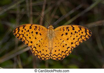 papillon, léopard, commun