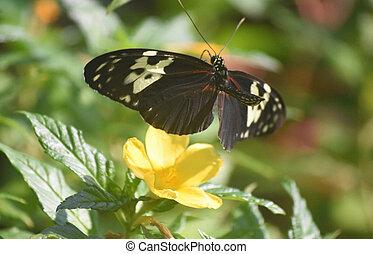 papillon, large, sien, longwing, prolongé, ailes