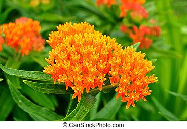 papillon, milkweed, mauvaise herbe, wildflower, (asclepias,...
