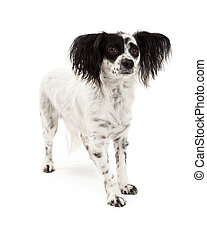 Papillon Mix Breed Dog Standing - A Papillon Mix Breed Dog...