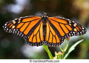 papillon, monarque, diffusion, closeup, ailes