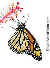 papillon, monarque