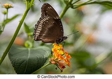 papillon, noir